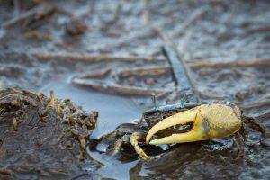 Fiddler crab - Ryan Paul Marchese