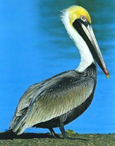 Pelican - Scott Palmeri