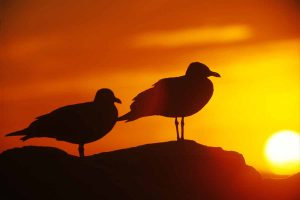 Gulls at Sunset - Sally Vennel