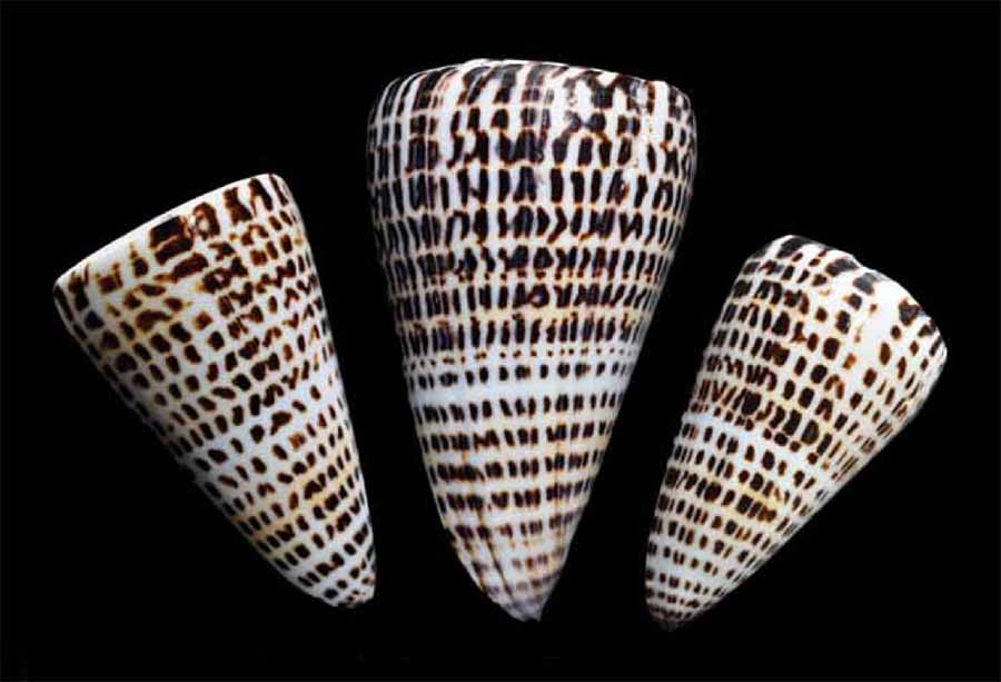 Cone shells